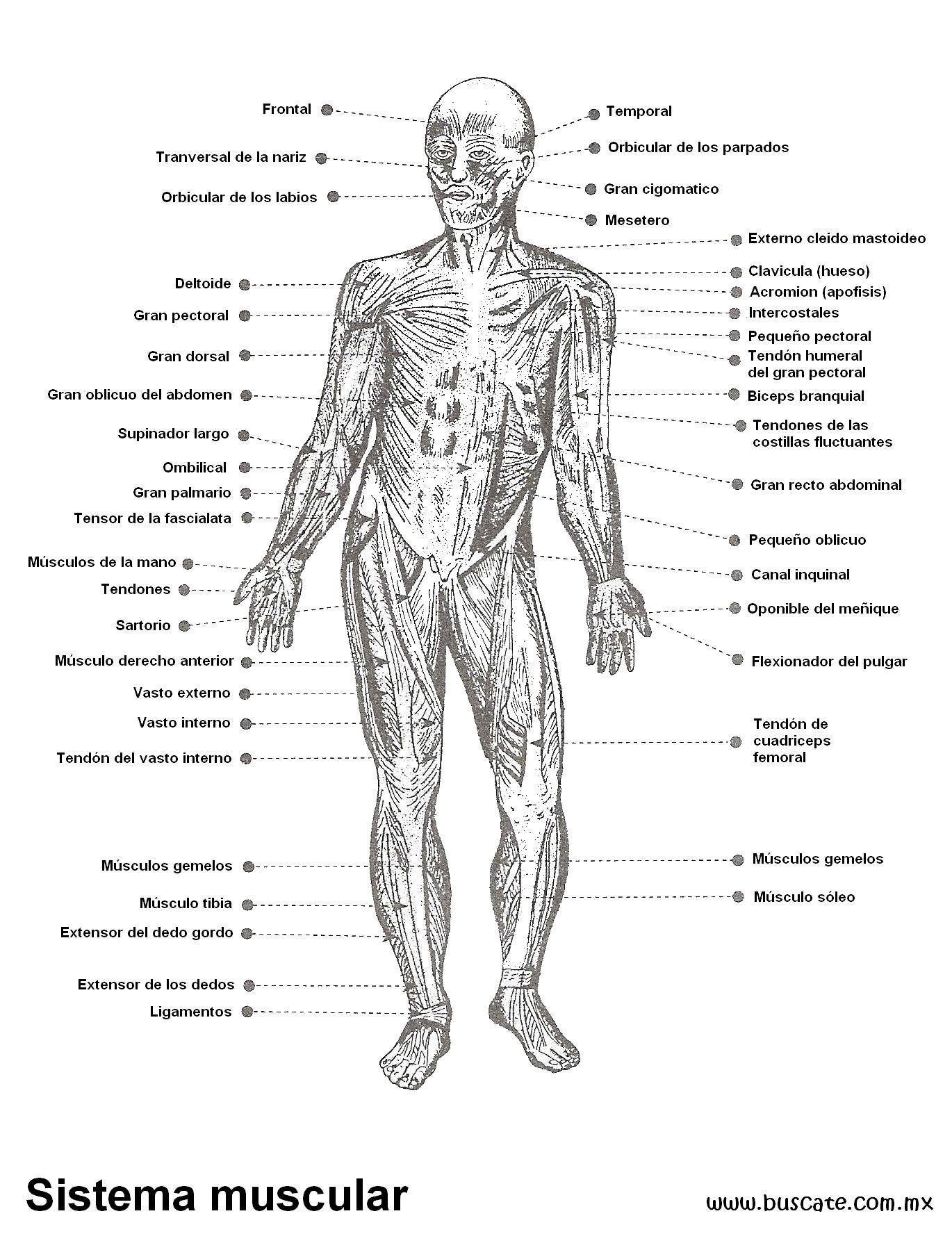 Único Diagrama De Músculo Imprimible Ideas - Anatomía de Las ...